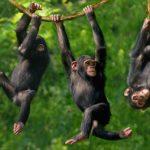 """Studio su """"Science"""": nessun altruismo rilevato tra scimpanzé"""