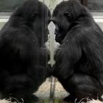 Tribunale USA: gli scimpanzé non sono paragonabili all'uomo