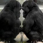American Court: Chimpanzees may not be considered as human beings