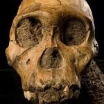 L'Australopithecus sediba contro Darwin, il neo-darwinismo e il gradualismo