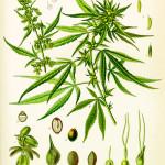 """Cannabis: la verità scientifica contro l'insostenibile """"leggerezza"""" dei radicali"""