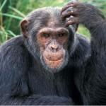Crediamo ancora di essere grossi scimpanzé per il 98% dei geni in comune?